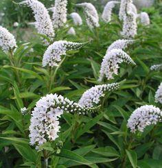 LYSIMACHIA clethroides - Hvid Fredløs, farve: hvid, lysforhold: sol/halvskygge, højde: 80 cm, blomstring: juli - august, velegnet til snit, god til bier og andre insekter.