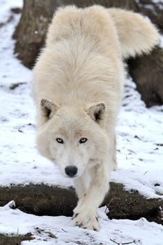 Arctic Wolf Approach by Josef Gelernter .... Awesome <3