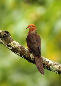 Macropygia ruficeps - kasztanówka mała - Little Cuckoo Dove