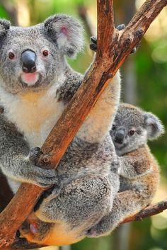 Baby Koala Bear, Australia | Easy Planet Travel