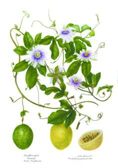 passionfruit pictures on Pinterest   Passion Flower, Botanical ...