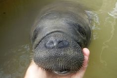 They have the cutest faces in the history of faces. 19 Reasons Manatees Are The Absolute Best Creatures In The Galaxy Animals And Pets, Baby Animals, Funny Animals, Cute Animals, Wild Animals, Underwater Creatures, Ocean Creatures, Underwater Animals, Underwater Life