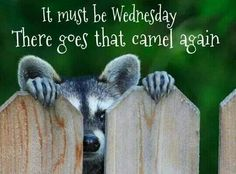 It Must Be Wednesday There Goes That Camel Again wednesday hump day humpday hump day camel wednesday quotes happy wednesday wednesday quote happy wednesday quotes Wednesday Hump Day, Happy Wednesday Quotes, Good Morning Wednesday, Wednesday Humor, Wacky Wednesday, Good Morning Good Night, Good Morning Quotes, Happy Quotes, Morning Sayings