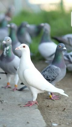 Pigeon Cage, Le Pigeon, White Pigeon, King Pigeon, Pigeon Bird, Cute Baby Animals, Animals And Pets, Racing Pigeon Lofts, Weird Birds