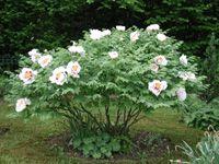 paeonien.ch :: Strauchpäonien sind die Leitpflanzen in unseren Gärten. Daneben finden Sie viele Helleboren, Hostas und andere Stauden sowie eine Menge Zwiebelgewächse. Päonien, Hostas, Helleboren, Pfingstrosen, Sämlinge, Zwiebelgewächse, Rockii-Hybriden, Paeonia suffruticosa, Blüten, Helleborus niger, Helleboren, Helleborus orientalis, Garten, Traumgarten, Frauenfeld, Thurgau, Schweiz