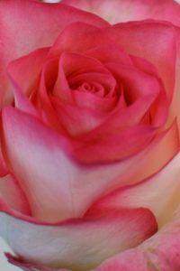 Jumilia Beautiful, Natural Beauty, Symbols, Roses, Flowers, Natural Baby, Medium Length Cuts, Center Part, World