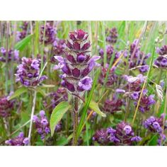 """Selfheal 10 wildflower plug plants - needs dry/sunny area. Good groundcover. Flowers May-Sept. 6-12"""" tall. Good for bees, mainly."""