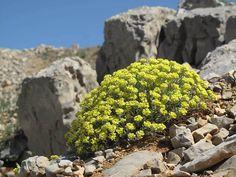 Alyssum baumgartnerianum ...Zdjęcie użytkownika Ori Fragman-Sapir.