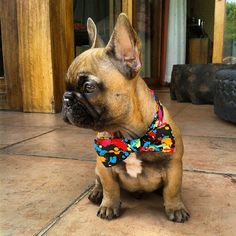 Frenchie in a bow tie! next I'm puttin' on my top hat, pickin' up my cane {:-)