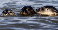 sea seal | Young seals in the German North Sea close to the beach of Juist ...