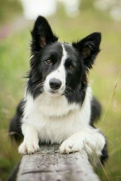 Boarder Collie Puppy, Collie Dog, Beautiful Dogs, Animals Beautiful, Cute Animals, Pet Dogs, Dogs And Puppies, Dog Cat, Doggies