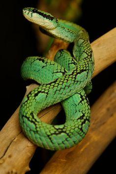 [trigonocephalus] Two beautiful snakes Beautiful Snakes, Reptiles, How To Look Better, Animals, Snakes, Animales, Animaux, Animal, Animais