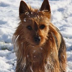 Arista Australian Terriers Australian Terrier Puppies, Norfolk Terrier Puppies, Terrier Rescue, Terriers, Corgi, Pets, Animals, Friends, Amigos