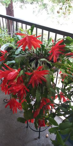 Christmas Cactus, Last Christmas, Orchid Cactus, Orchids, Bloom, Vintage Bee, Pereira, Plants, Beautiful Flowers