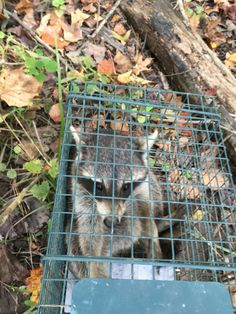 SassyGals Nuisance Trapping & Predator Control  Silly raccoon glad to be relocating