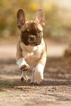 French Bulldog in Full Gallop.