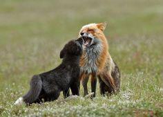 Red fox by douglasjames #animals #animal #pet #pets #animales #animallovers #photooftheday #amazing #picoftheday
