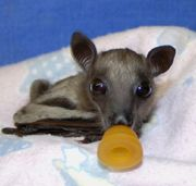 This is Bootsana the bat my class adopted. How precious is she?