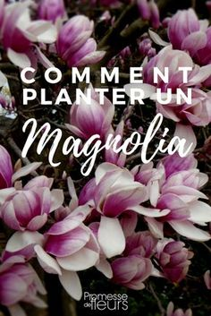 Découvrez comment planter un magnolia : où, quand et comment, on vous dit tout ! #jardin #jardinage #magnolia