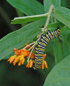 Grow Milkweed for You and the Monarchs.    Support the monarch butterflies, hummingbirds and bees while adding color, fragrance and beauty to your landscape by growing milkweed.