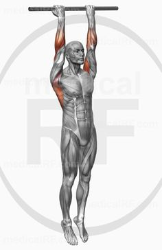 High-end medical image : The muscles involved in chin-ups. The agonist (active) and stabilizer muscles are highlighted. Pull Up Workout, Health Tips, Health And Wellness, The Agonist, Chin Up, Gym Workouts, Fitness Tips, Muscles, Exercises