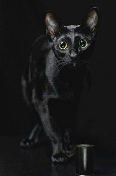 """A black cat crossing your path signifies that the animal is going somewhere."" --Groucho Marx i love black cats Beautiful Cats, Animals Beautiful, Cute Animals, Amor Animal, Mundo Animal, Crazy Cat Lady, Crazy Cats, I Love Cats, Cute Cats"