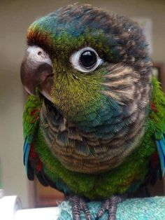 A funny parrot can be so cute. Check out these funny parrot videos. Contains some funny parrots dancing, some funny parrots talking or better said, . Cute Birds, Pretty Birds, Small Birds, Colorful Birds, Beautiful Birds, Animals Beautiful, Beautiful Creatures, Parrot Pet, Parrot Bird