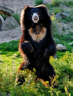 magicalnaturetour:    Sloth bear by Supervliegzus on Flickr. :)
