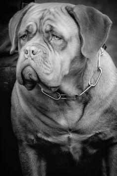 dogue de bordeau by Zephyr-Graphix