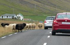 Sheep traffic jam in Iceland