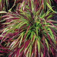 Red Wind Forest Grass