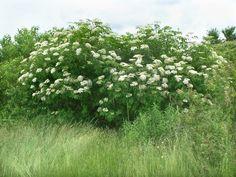 Sambucus nigra  (black elderberry):             Go Botany