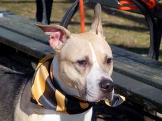 SAFE!!!!!!!!!!!!!!!!!  4/17/15  LYRIC A0755265 Manhattan Center – P STRAY ***EXPERIENCED HOME ***Spayed female tricolor american staff mix 7 YRS old ***QUIET, OBEDIANT GIRL -REDUMPED AS AN ADULT IN HIGH KILL SHELTER!!! Volunteers say: She left this shelter as a puppy & now she's back. SWEET, loving, beautiful & tender soul she is, & you will fall in love. Cautious at first, but warms up quickly. A wonderful girl, in a big scary place, who clearly belongs in a family setting.