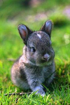 Cubby faced baby bunny