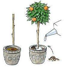 how to make miniature fruit trees