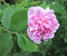 Motoristin Mutsi at home and garden: Flowering...