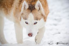 Siberian Husky in the Snow by Jesse James Photography on 500px