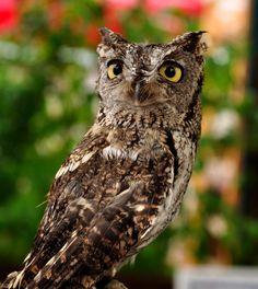 Western Screech Owl, Westerns, Bird, Poster, Animals, Birds, Animales, Animaux, Animal