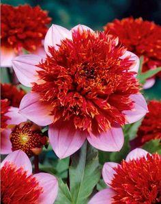 Dahlia à fleurs d'anémone 'Phantom'