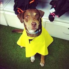 El guapísimo Bailey #criollo hace honor a su nombre que contrasta con el amarillo de su capa nueva.