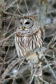 Barred owl from Ontario, Canada