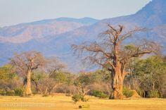 Baobabs at Mana Pools National Park, Zimbabwe, Africa. Read more about Mana Pools here: www.greatzimbabweguide.com/tag/mana-pools Amazing Photos, Cool Photos, Zimbabwe Africa, Fantastic Art, Africa Travel, Rock Climbing, Holiday Destinations, Homeland, Painting Inspiration