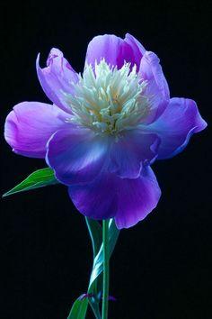 ~~Blue Peony by Amalia Elena Veralli~~
