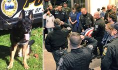 Police dog stabbed to death by criminal he was helping to arrest god bless his soul and peace b with the ones whom he touched in his beautiful life www.capemaydogs.com honors you