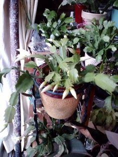 White Zygo I bought in 2012
