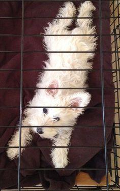 Schnauzer Puppy Dorothy - Bird's Eye View