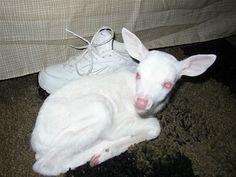 Albino fawn