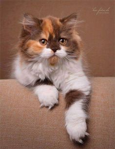 Beautiful Kittens, Pretty Cats, Animals Beautiful, Cute Animals, Kittens Cutest, Cats And Kittens, Cute Cats, Exotic Cats, Brown Cat