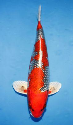 Palm Resort, Koi Ponds, Carpe, Water Animals, Koi Carp, Central Florida, Fish, Pisces, Koi Fish Pond