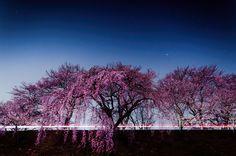 Cherry Blossoms Series with Kenichi Ueno | Abduzeedo Design Inspiration
